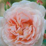 H_Rose